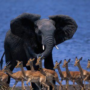 1920x1080-Wallpaper-wildlife-africa-elephant-duiker-pygmy-antelope-run