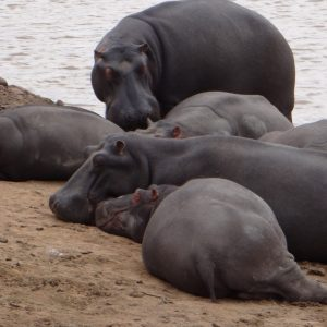 Hippo South Reserve Africa Pool Game Cute Cartoon Animal Images