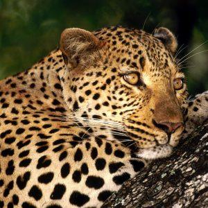 Male_Leopard,_Sabi_Sabi_Private_Game_Reserve,_South_Africa