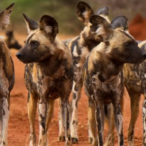 south-africa-makanyane-safari-lodge-pack-of-wild-dog-sanctuary-retreats